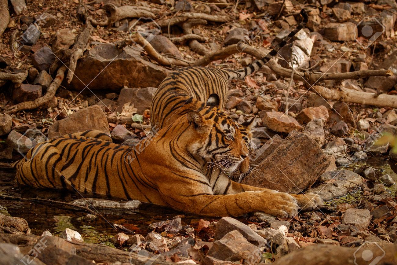 Beautiful tiger in the nature habitat. Tiger pose in amazing light. Wildlife scene with wild animal. Indian wildlife. Indian tiger. Panthera tigris tigris. - 161811195
