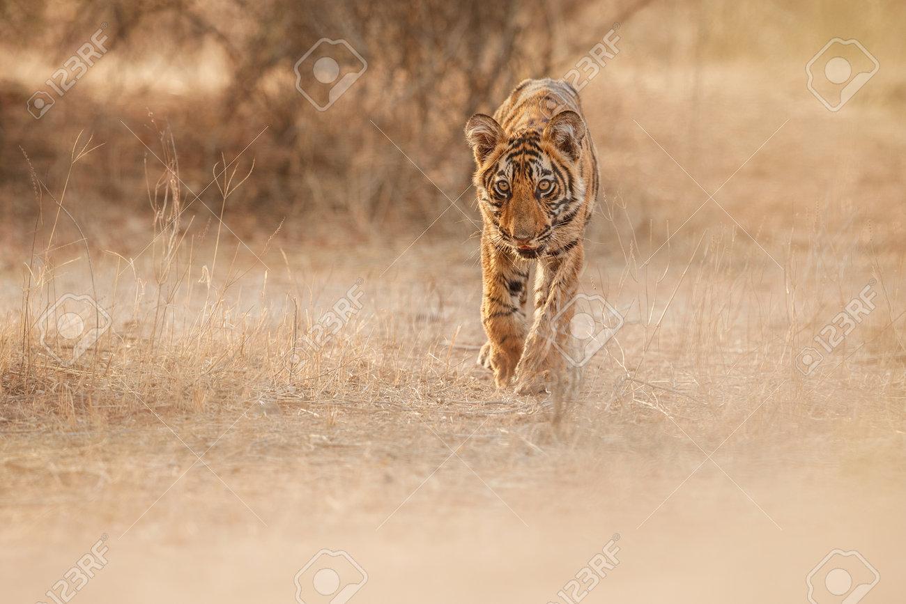 Beautiful tiger in the nature habitat. Tiger pose in amazing light. Wildlife scene with wild animal. Indian wildlife. Indian tiger. Panthera tigris tigris. - 161811199