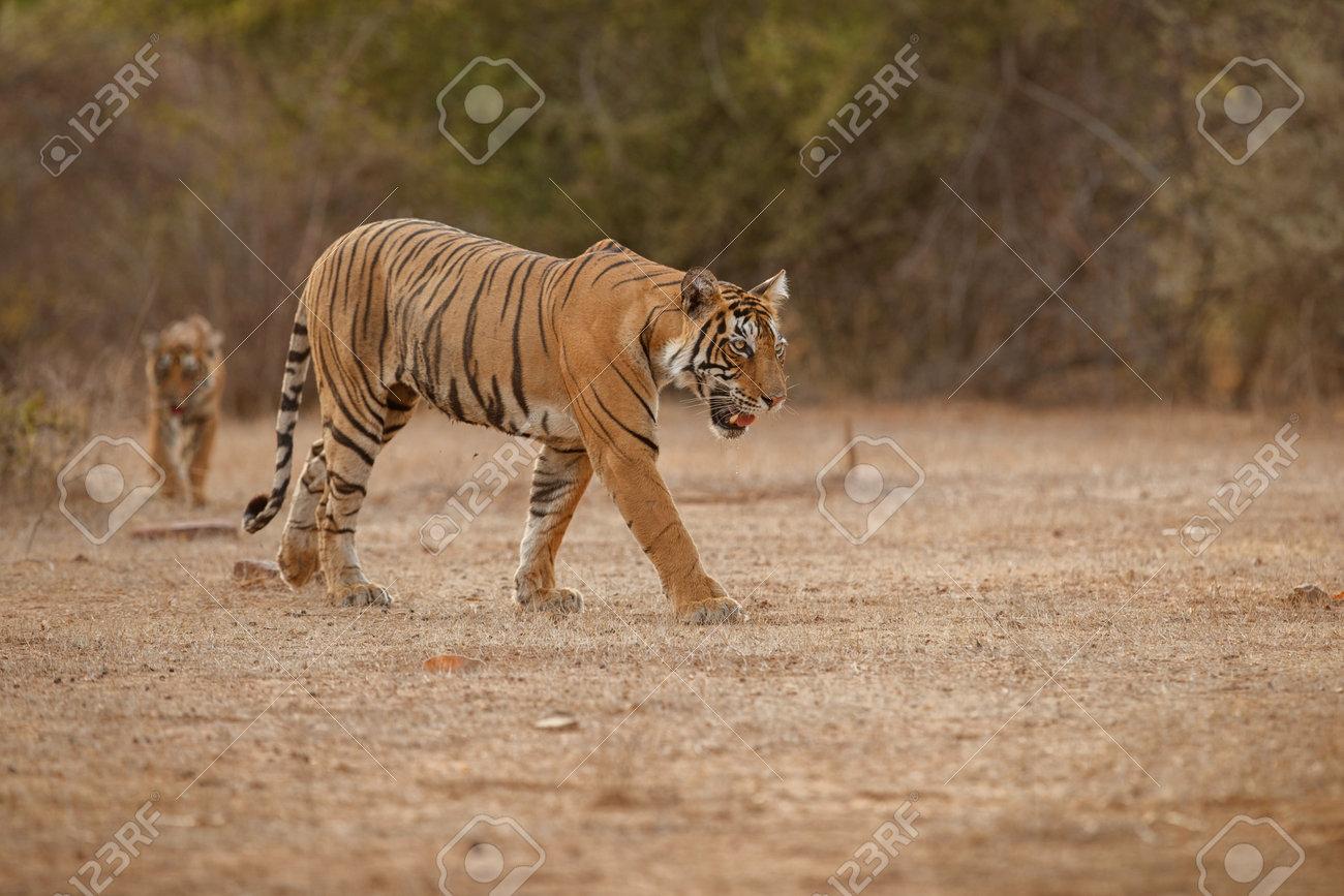 Beautiful tiger in the nature habitat. Tiger pose in amazing light. Wildlife scene with wild animal. Indian wildlife. Indian tiger. Panthera tigris tigris. - 161811205