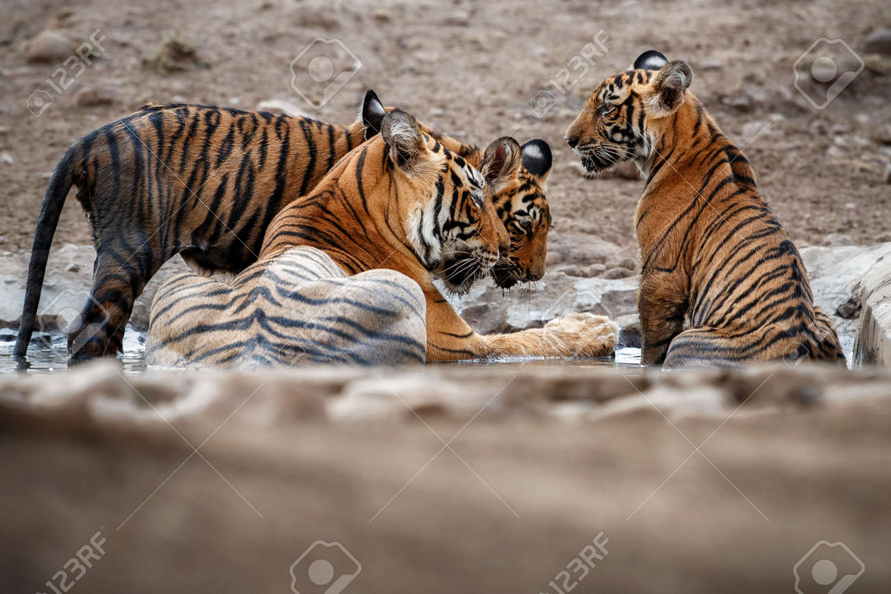 Beautiful tiger in the nature habitat. Tiger pose in amazing light. Wildlife scene with wild animal. Indian wildlife. Indian tiger. Panthera tigris tigris. - 161811206