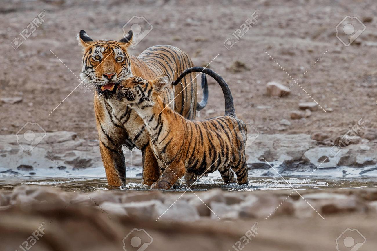 Beautiful tiger in the nature habitat. Tiger pose in amazing light. Wildlife scene with wild animal. Indian wildlife. Indian tiger. Panthera tigris tigris. - 161811275