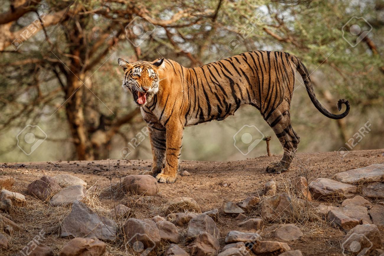 Beautiful tiger in the nature habitat. Tiger pose in amazing light. Wildlife scene with wild animal. Indian wildlife. Indian tiger. Panthera tigris tigris. - 161811276