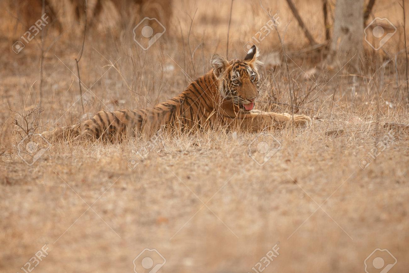 Beautiful tiger in the nature habitat. Tiger pose in amazing light. Wildlife scene with wild animal. Indian wildlife. Indian tiger. Panthera tigris tigris. - 161811280