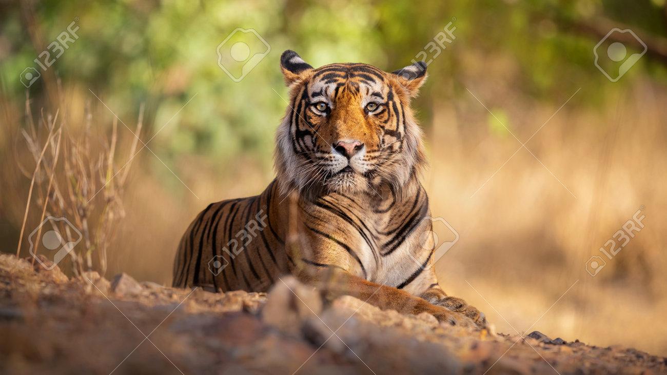 Beautiful tiger in the nature habitat. Tiger pose in amazing light. Wildlife scene with wild animal. Indian wildlife. Indian tiger. Panthera tigris tigris. - 161811283