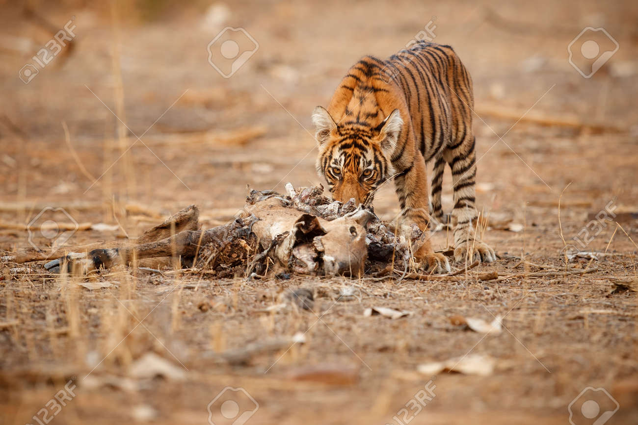 Beautiful tiger in the nature habitat. Tiger pose in amazing light. Wildlife scene with wild animal. Indian wildlife. Indian tiger. Panthera tigris tigris. - 161811286