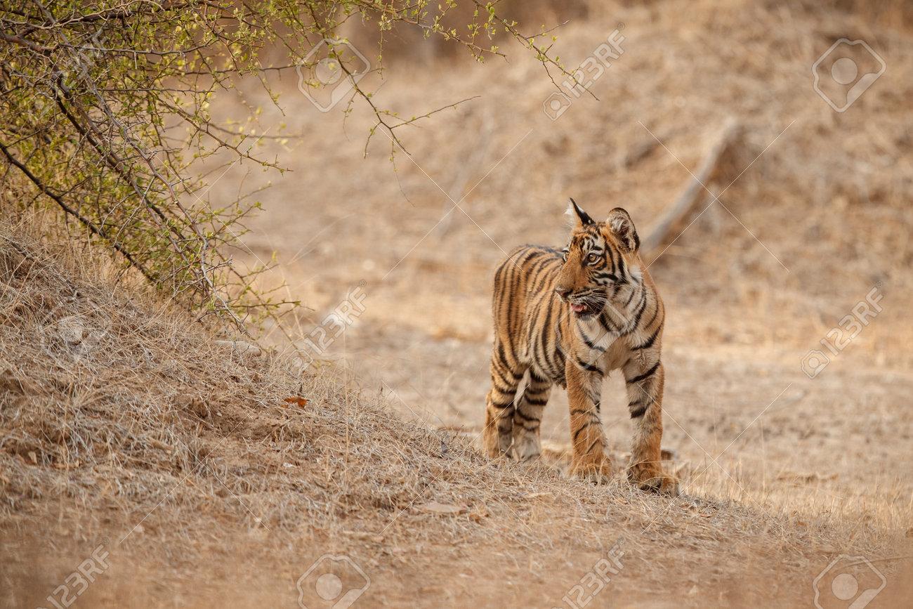 Beautiful tiger in the nature habitat. Tiger pose in amazing light. Wildlife scene with wild animal. Indian wildlife. Indian tiger. Panthera tigris tigris. - 161811317