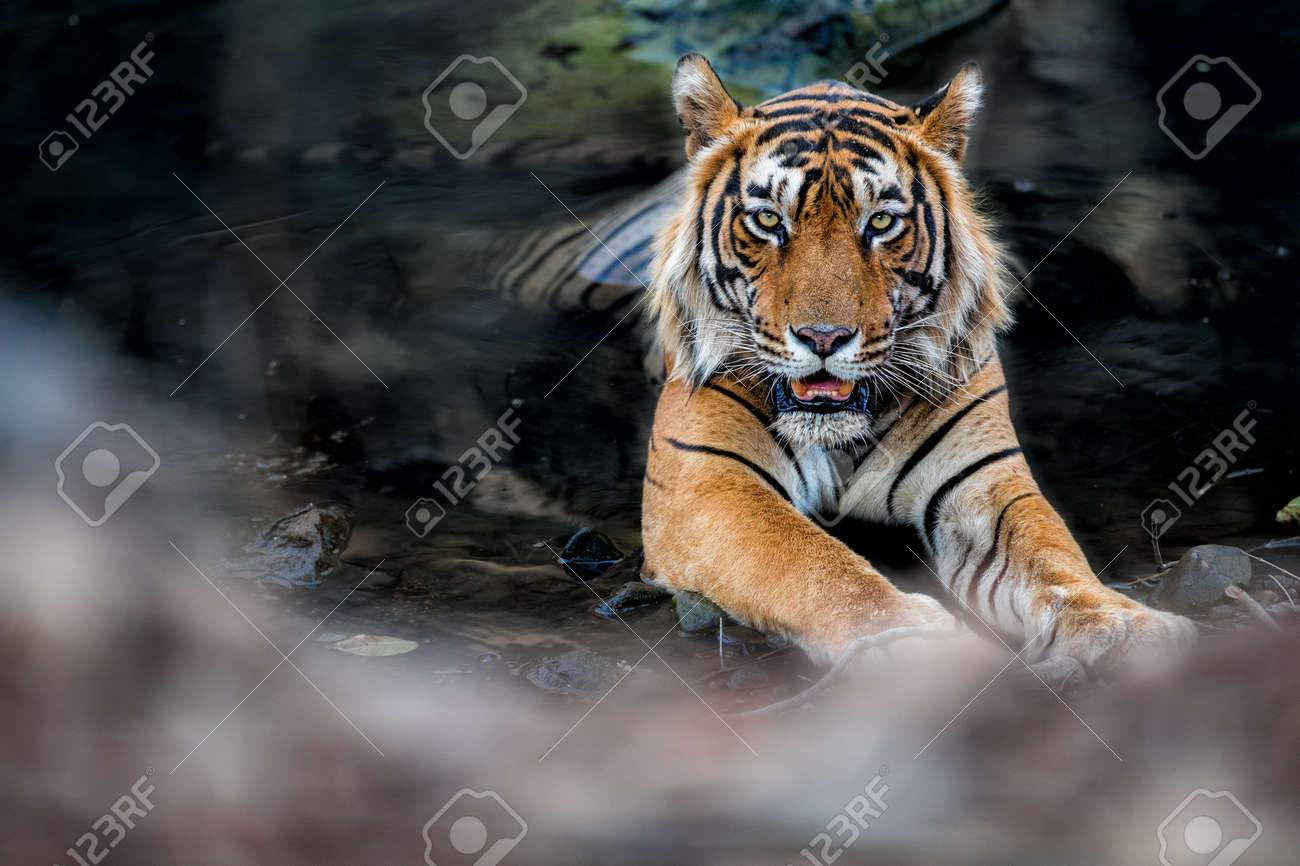 Beautiful tiger in the nature habitat. Tiger pose in amazing light. Wildlife scene with wild animal. Indian wildlife. Indian tiger. Panthera tigris tigris. - 161811323