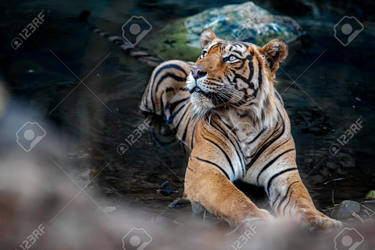 Beautiful tiger in the nature habitat. Tiger pose in amazing light. Wildlife scene with wild animal. Indian wildlife. Indian tiger. Panthera tigris tigris. - 161811324