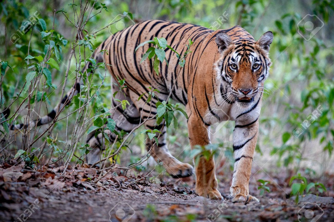 Beautiful tiger in the nature habitat. Tiger pose in amazing light. Wildlife scene with wild animal. Indian wildlife. Indian tiger. Panthera tigris tigris. - 161811326