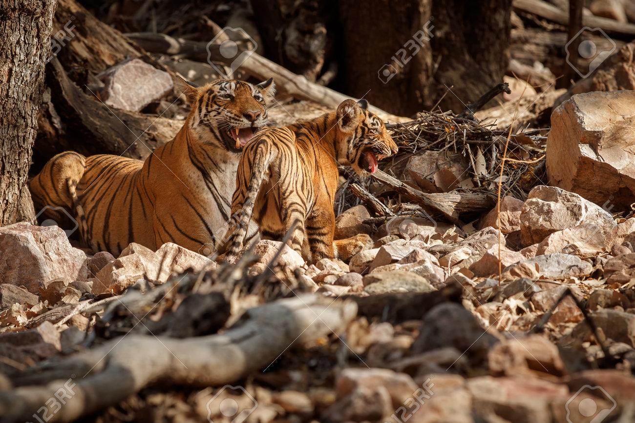 Beautiful tiger in the nature habitat. Tiger pose in amazing light. Wildlife scene with wild animal. Indian wildlife. Indian tiger. Panthera tigris tigris. - 161811328