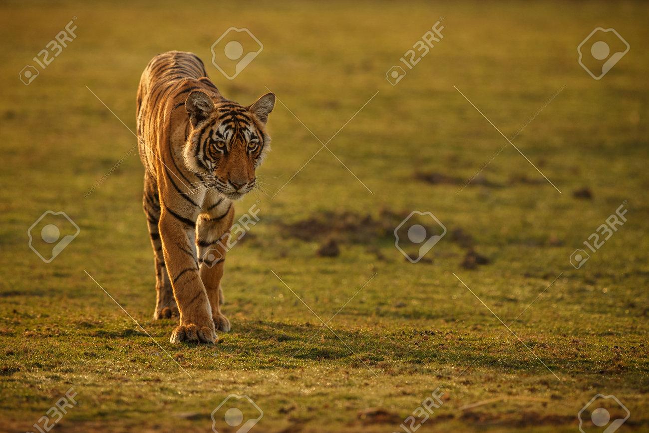 Beautiful tiger in the nature habitat. Tiger pose in amazing light. Wildlife scene with wild animal. Indian wildlife. Indian tiger. Panthera tigris tigris. - 161811335