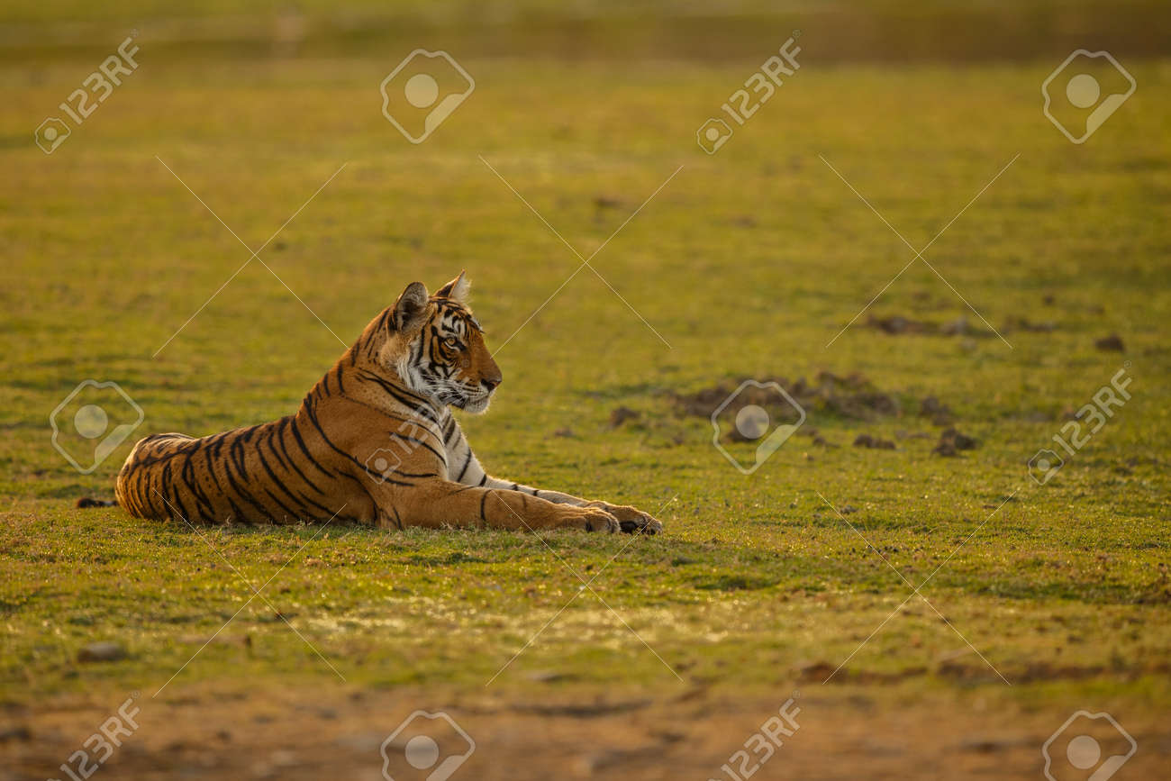 Beautiful tiger in the nature habitat. Tiger pose in amazing light. Wildlife scene with wild animal. Indian wildlife. Indian tiger. Panthera tigris tigris. - 161811341