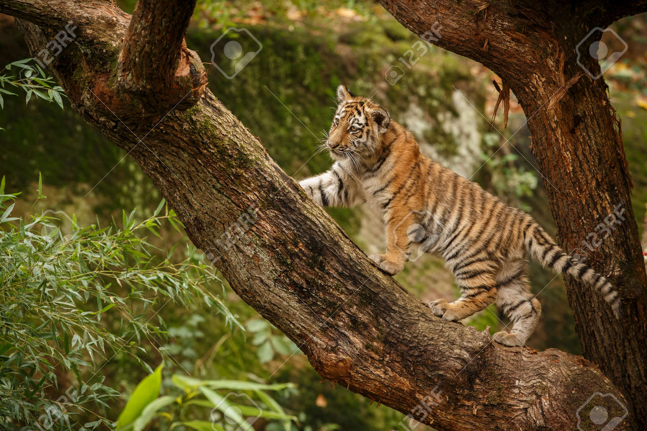 Beautiful tiger in the nature habitat. Tiger pose in amazing light. Wildlife scene with wild animal. Indian wildlife. Indian tiger. Panthera tigris tigris. - 161811345