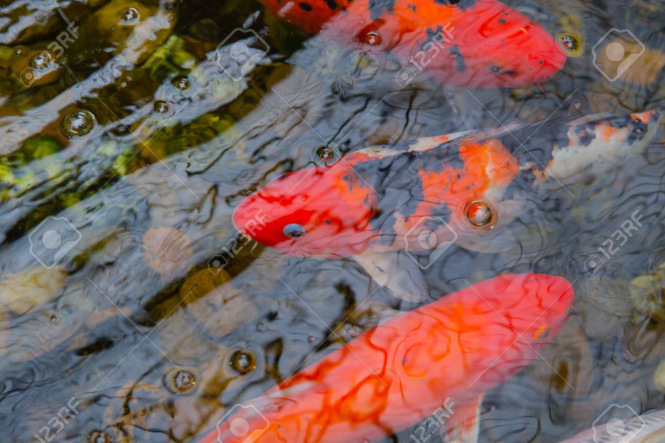 Koi Carp Fish Or Brocaded Fish In Pond With Water Reflect Wave ...