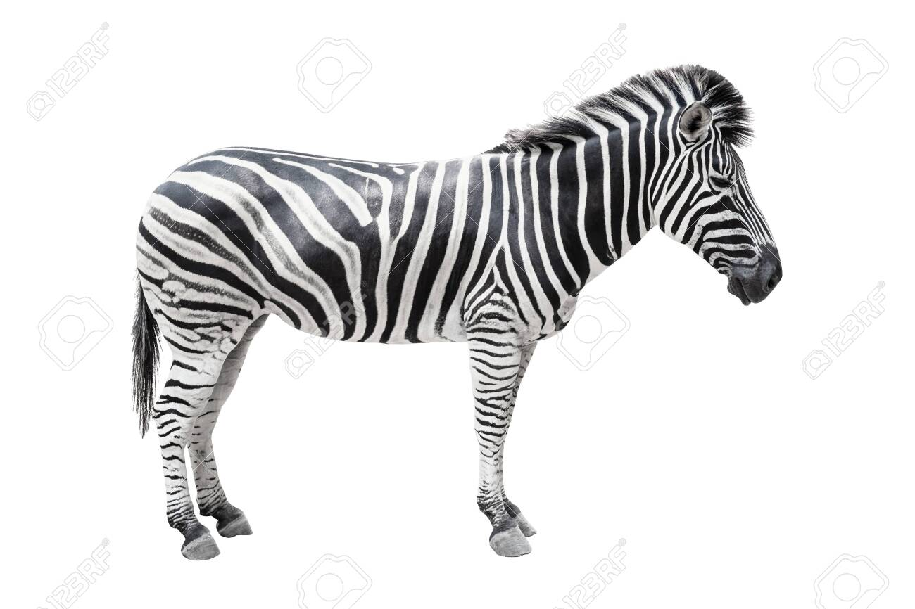 Zebra on white background isolated with clipping path. - 120547084