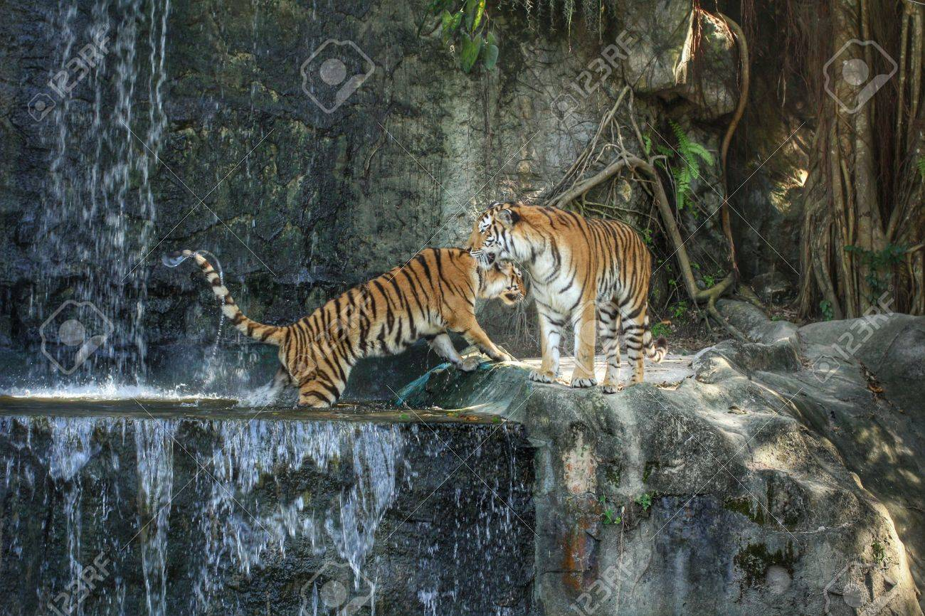 bengal tiger standing on the rock near waterfall stock photo