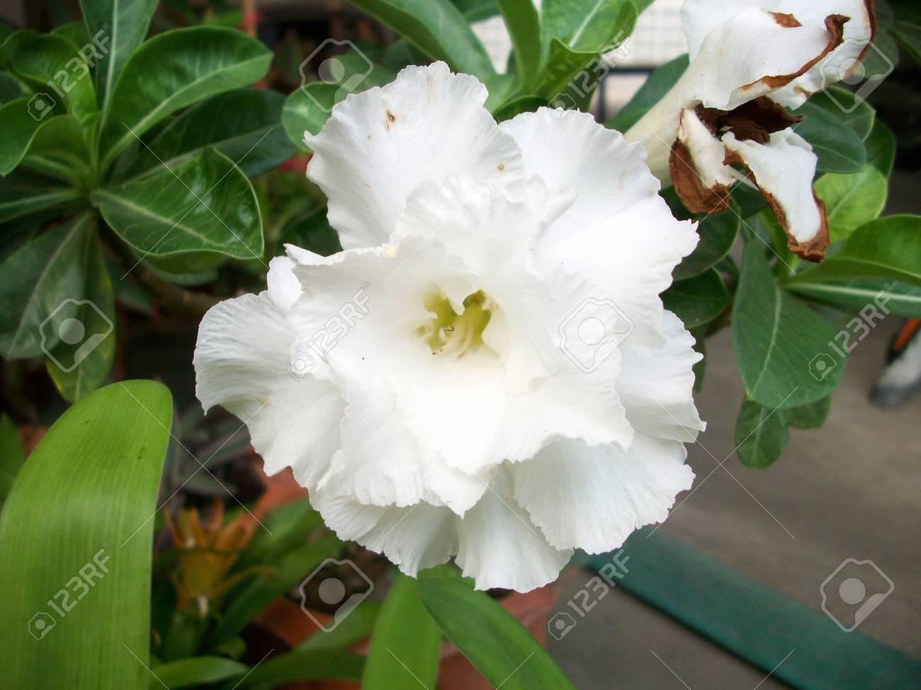 Impala lily adenium - white flowers Stock Photo - 26497922