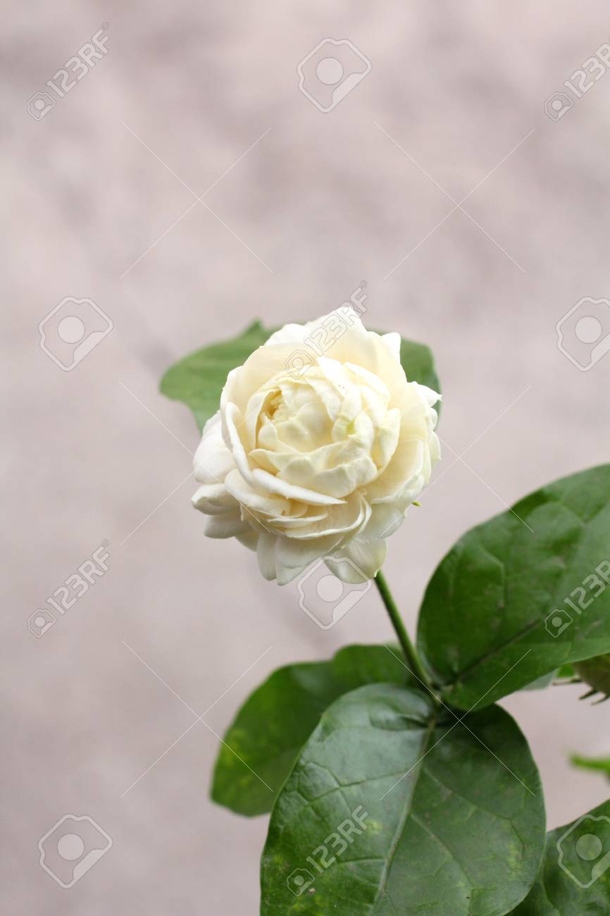 Close Up Of Jasmine Flower Stock Photo Picture And Royalty Free
