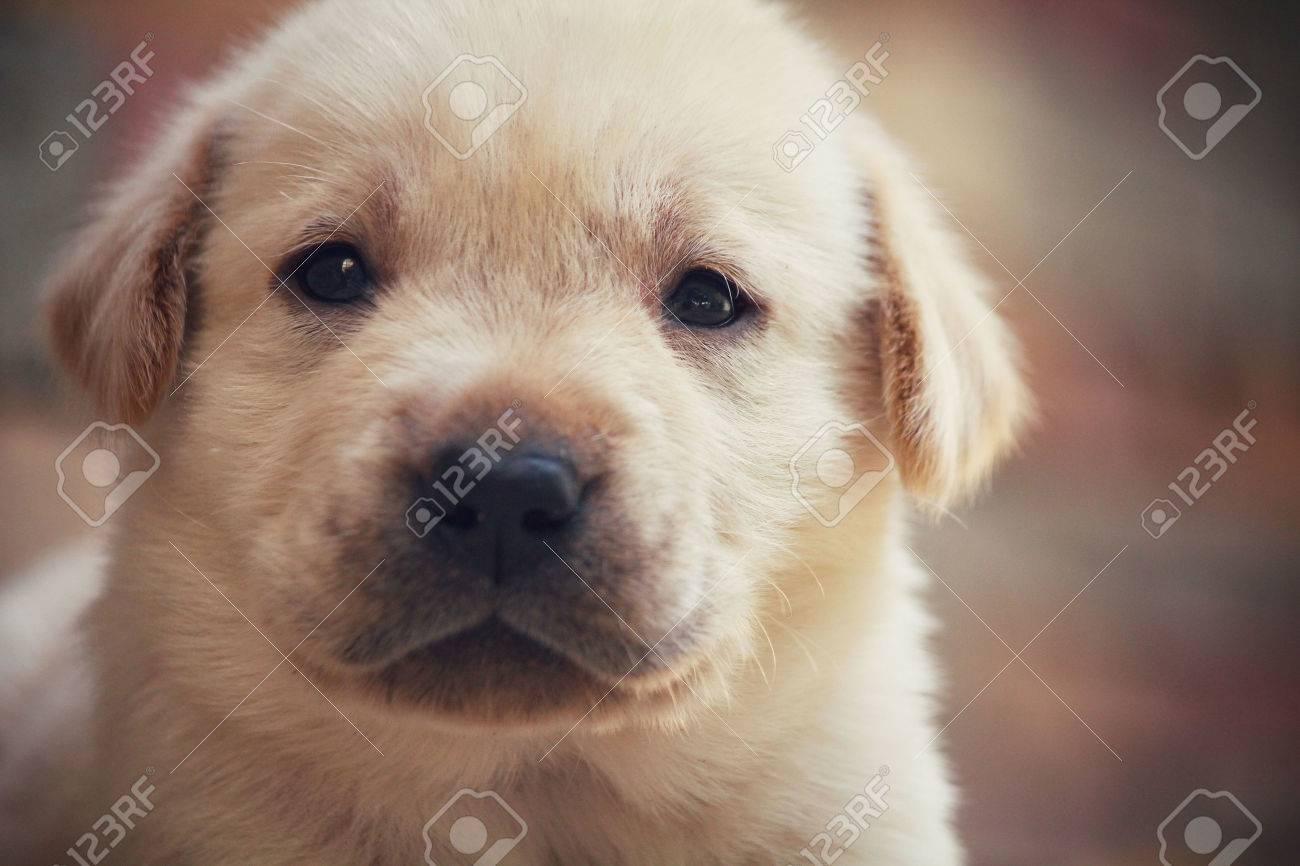 Labrador puppy dog Standard-Bild - 46857837