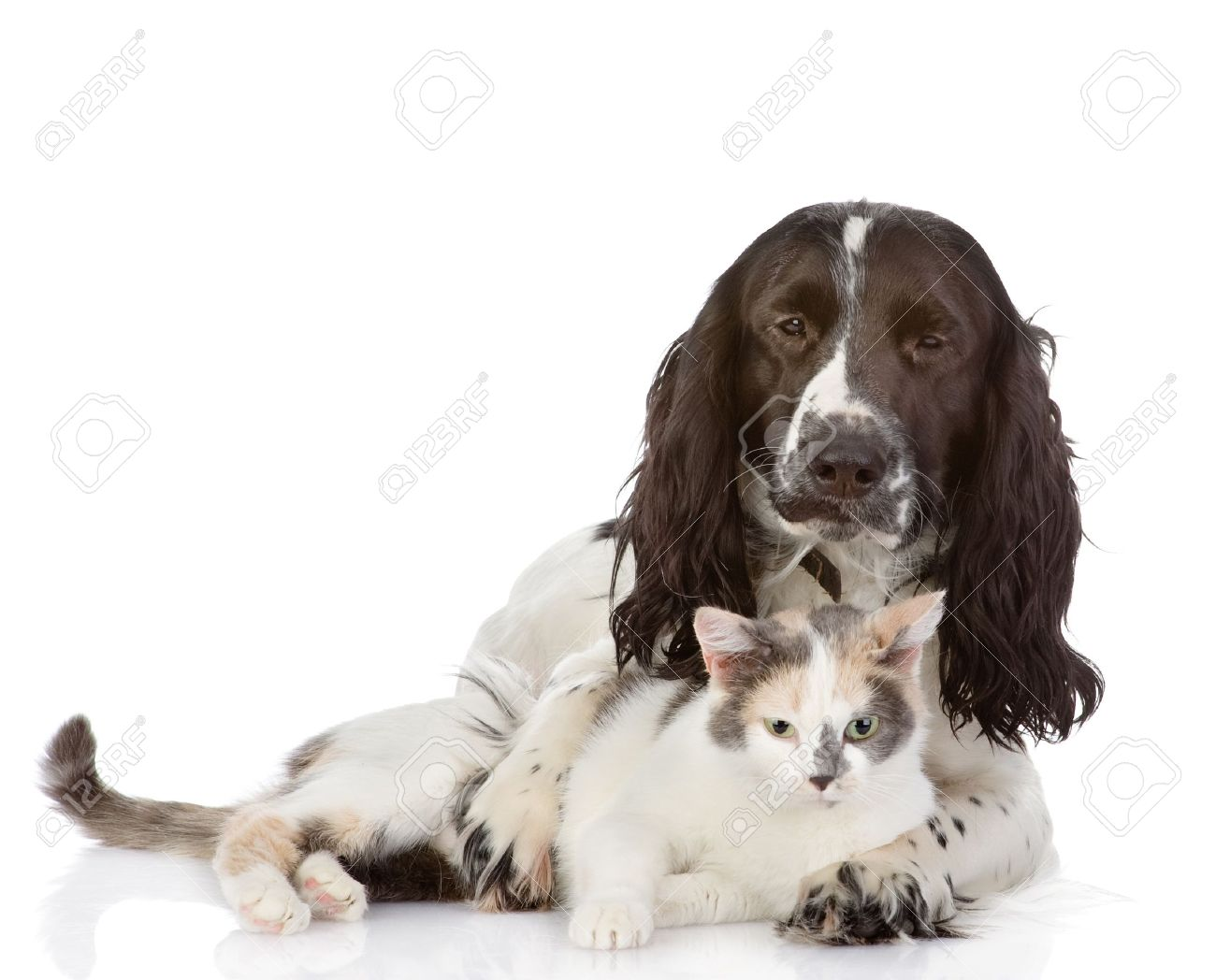 English Cocker Spaniel dog and kitten together  looking at camera  isolated on white background Stock Photo - 20901527