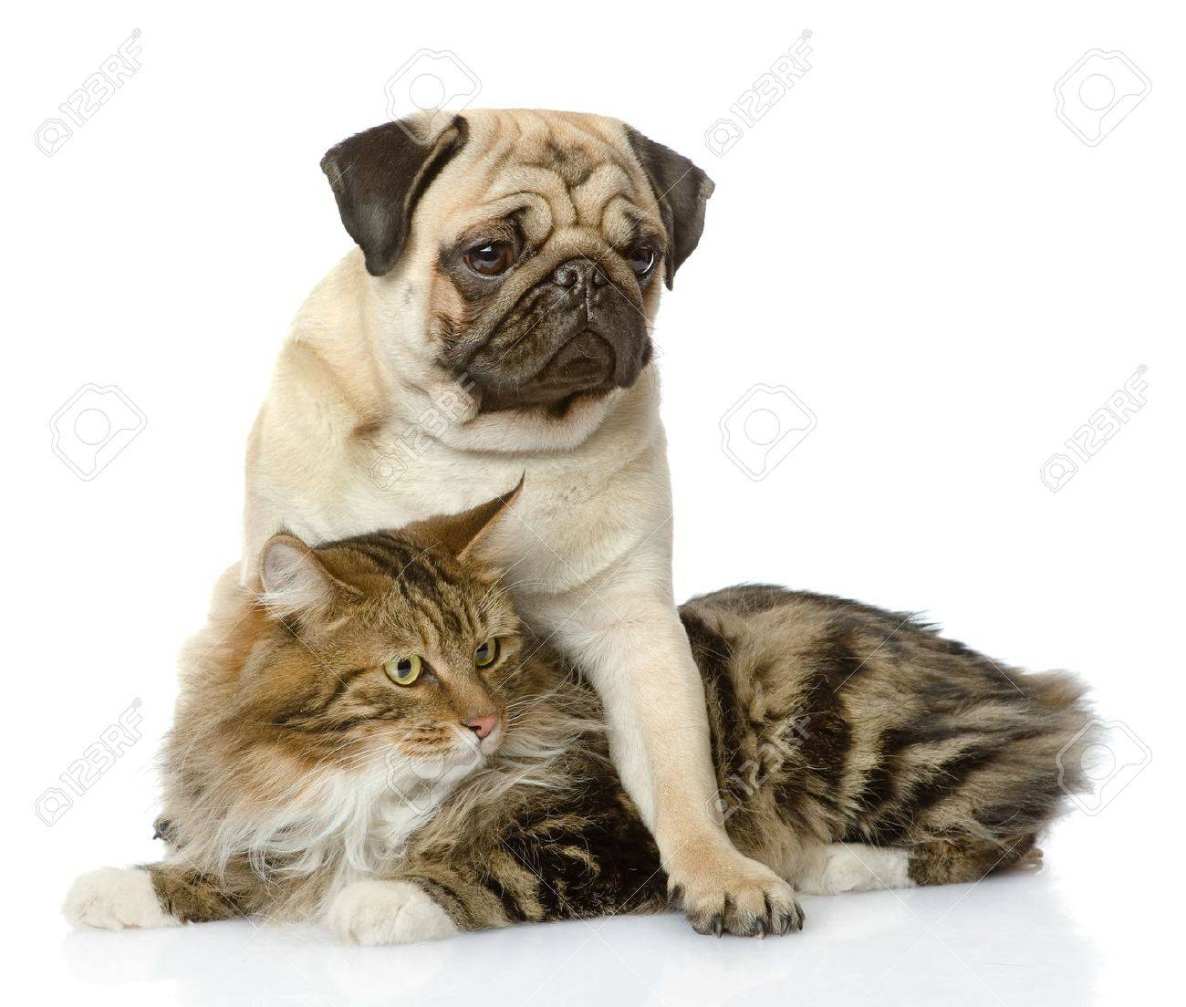 pug puppy hugs a cat  isolated on white background Stock Photo - 20931094