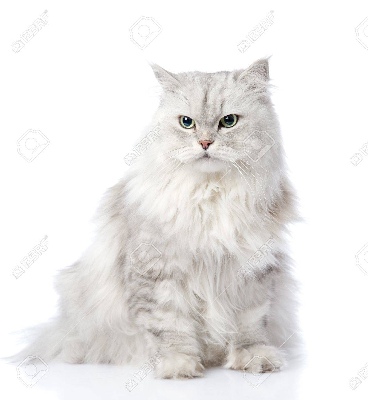 Gray Persian Cat Looking Away Isolated White Background Stock