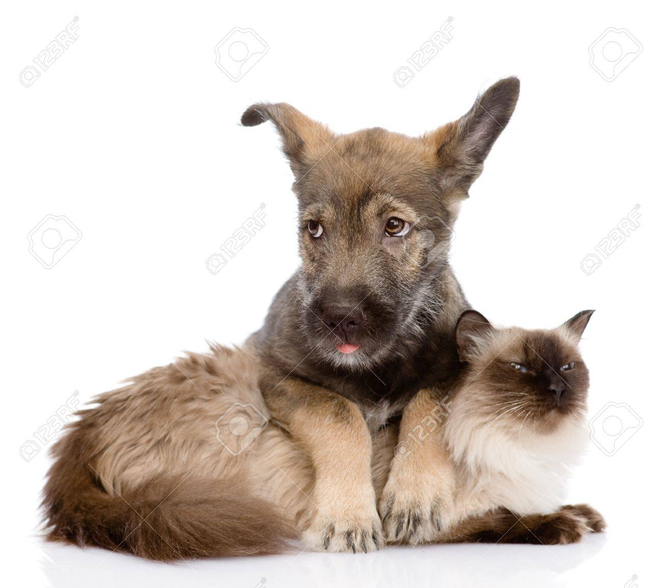 puppy and siamese cat together  isolated on white background Stock Photo - 21046077