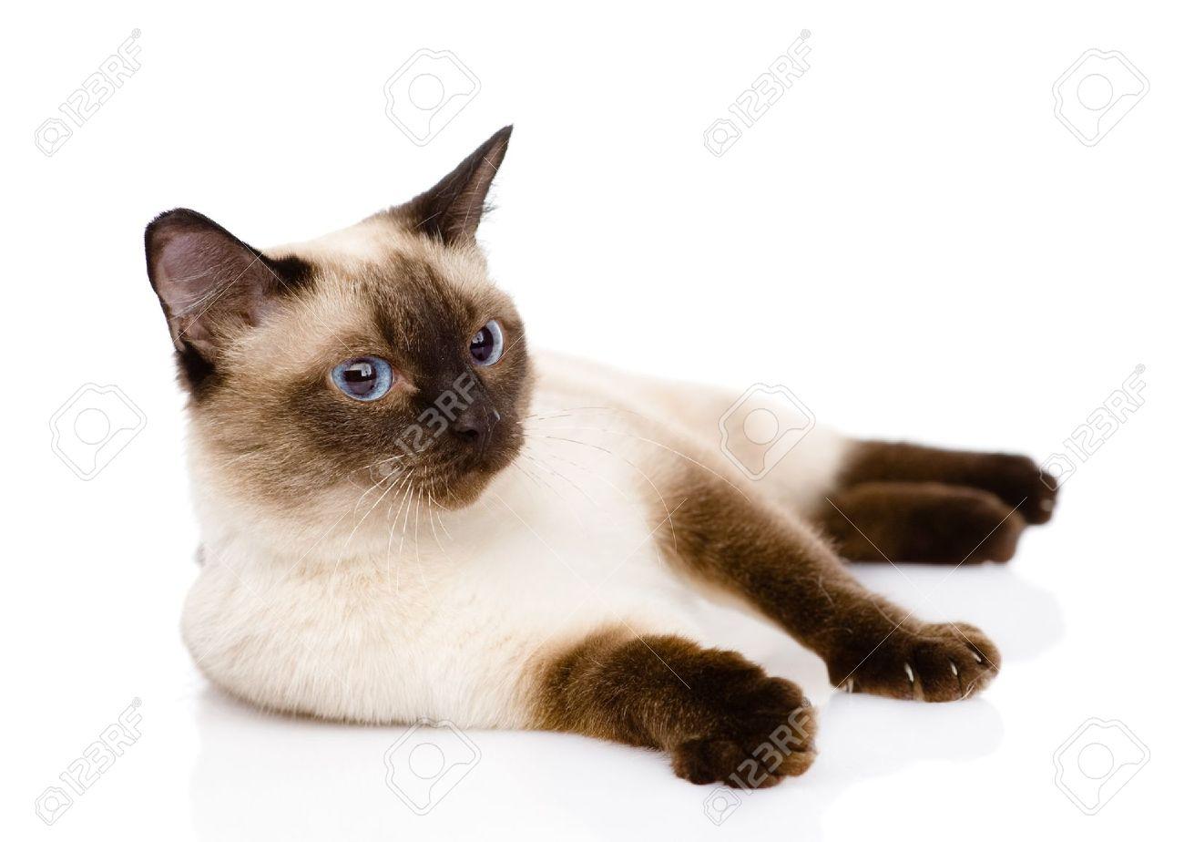 Foto de archivo , gato siamés aislado en fondo blanco