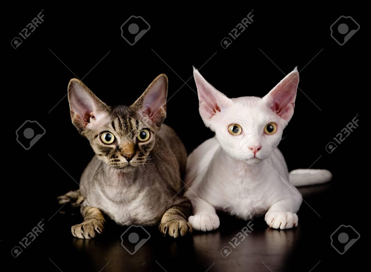 Twee Witte Devon Rex Katten Geisoleerd Op Donkere Achtergrond