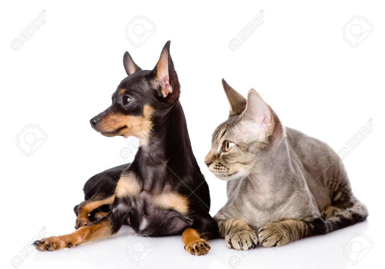 devon rex cat and toy-terrier puppy together  looking away  isolated on white background Stock Photo - 22124291