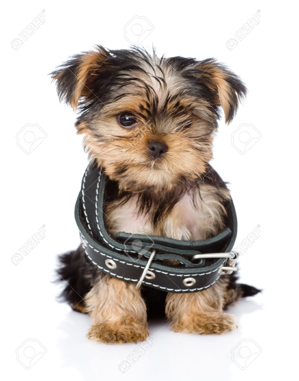 Background image too big - Little Yorkshire Terrier Puppy Wearing Dog Collar That Is Too Big Isolated On White Background Stock