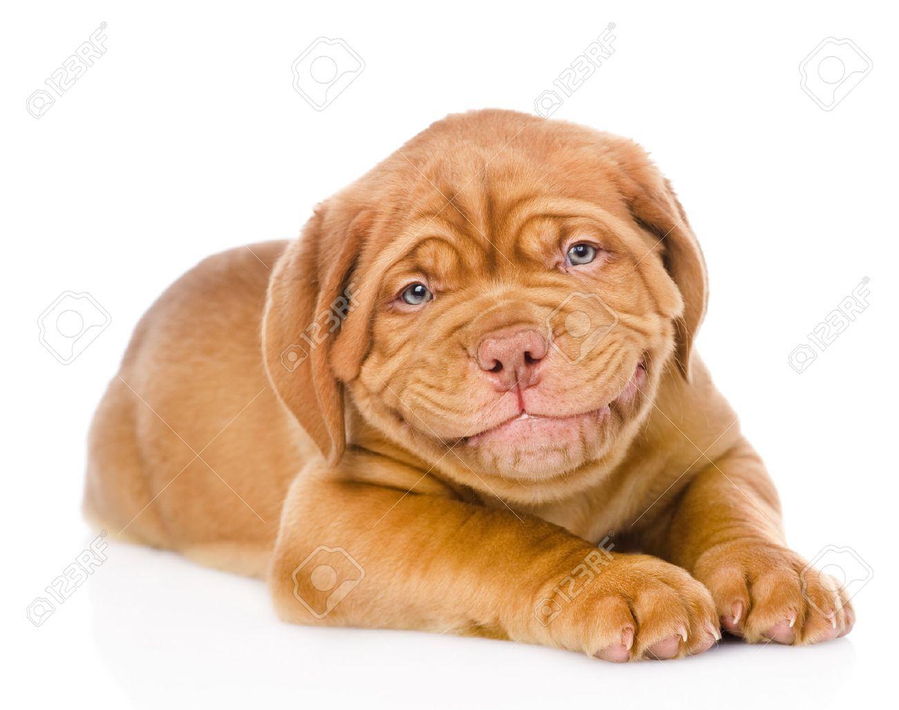dogue de bordeaux puppy images u0026 stock pictures royalty free