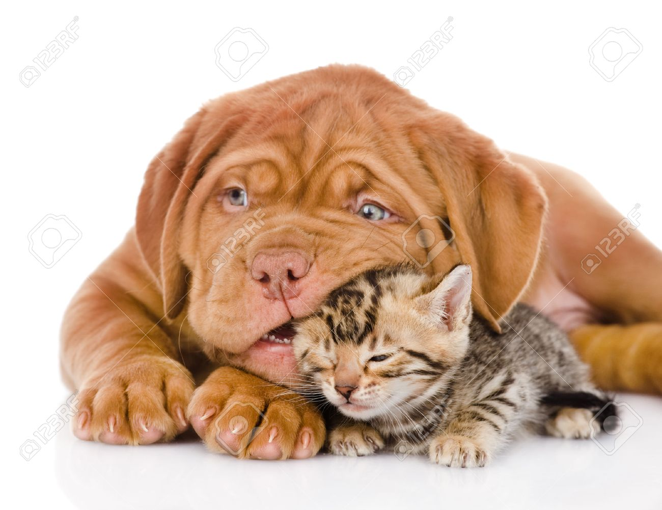 Bordeaux Puppy Dog Playing With Bengal Kitten Isolated On White