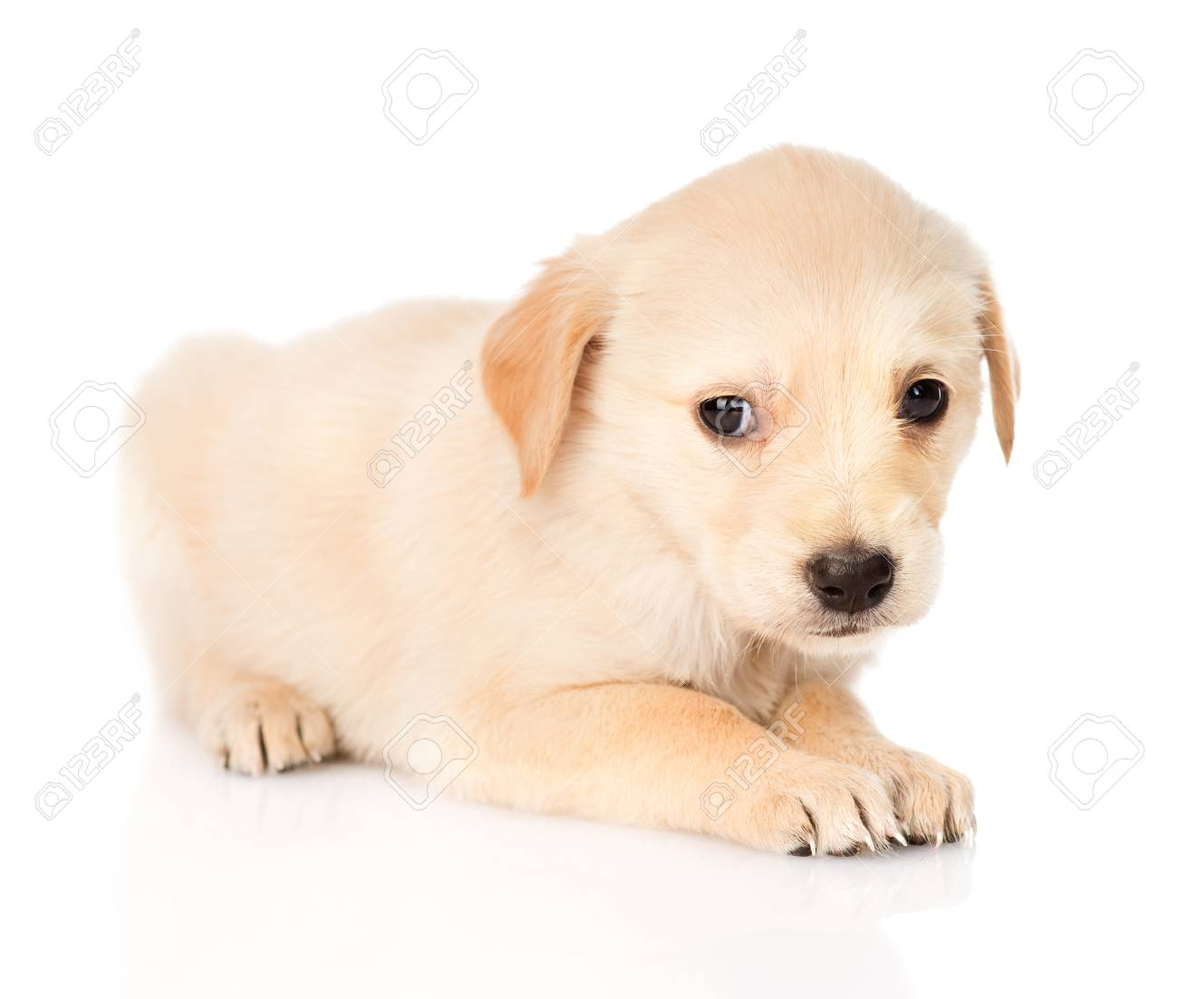 Sad Golden Retriever Puppy Dog Isolated On White Background Stock Photo Picture And Royalty Free Image Image 27783992