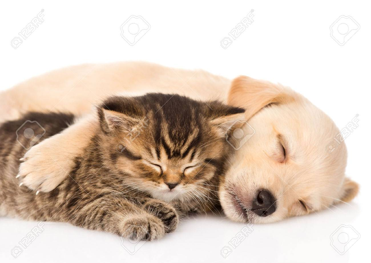 Golden Retriever Puppy Dog And British Cat Sleeping Together Stock