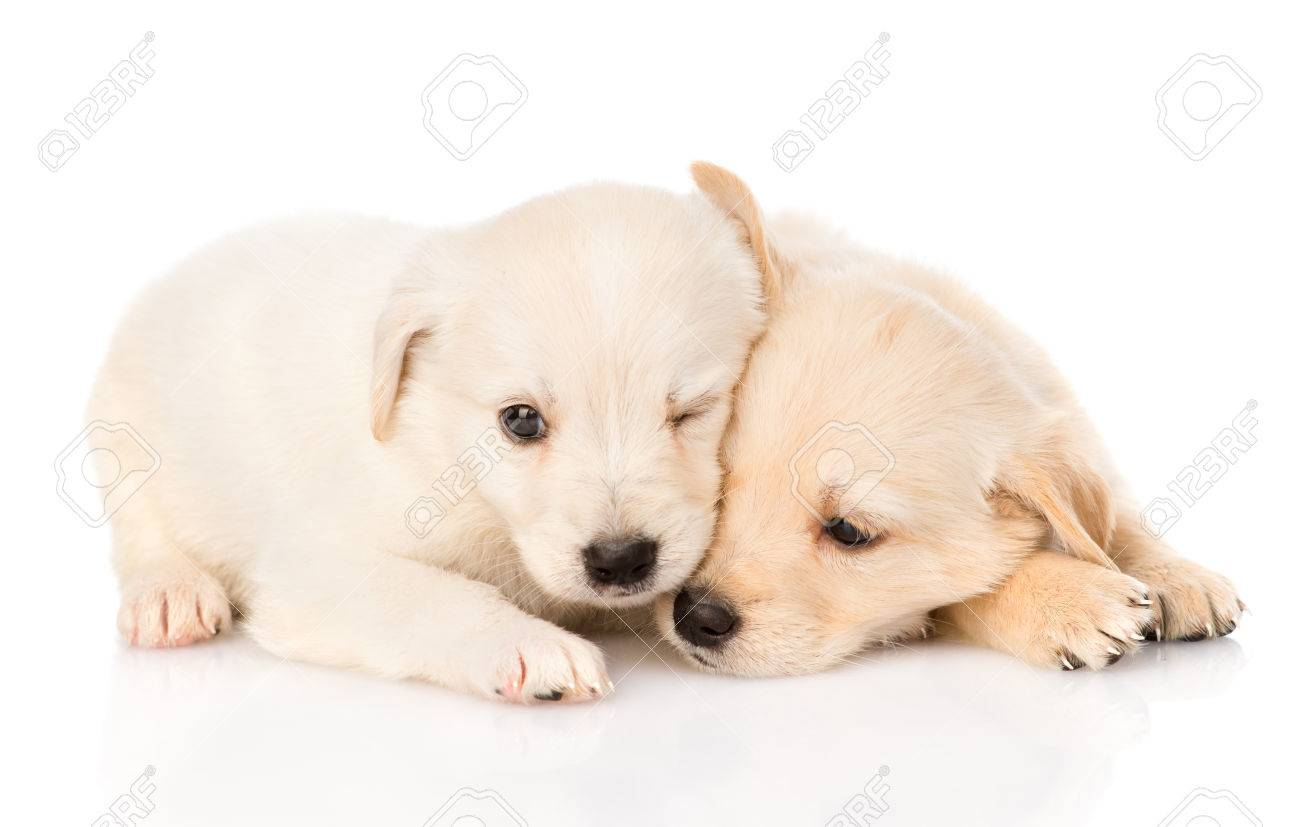 Two Golden Retriever Puppy Dog Lying Together Isolated On White