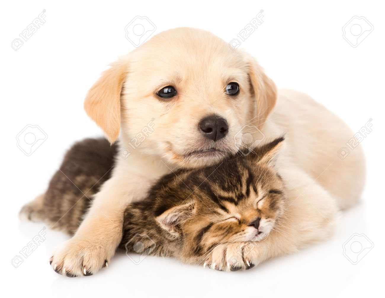 Golden Retriever Puppy Dog Hugging Sleeping British Cat Isolated