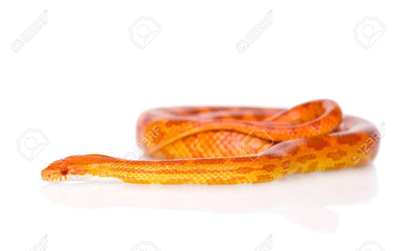 Creamsicle serpent de maïs Elaphe guttata guttata isolé sur fond blanc
