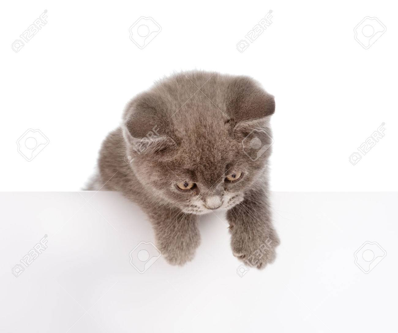 kitten hanging over blank poster board isolated on white background