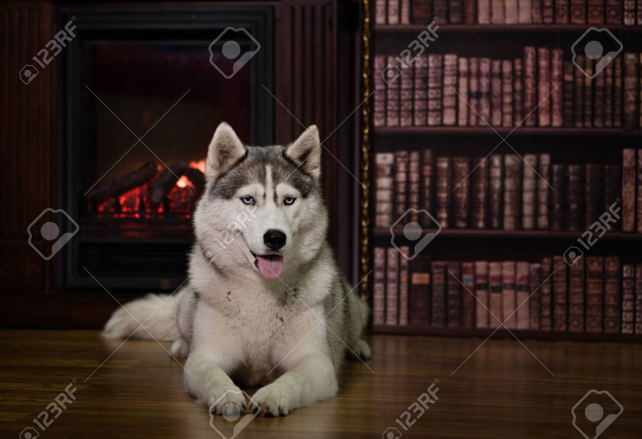 portrait husky dog near a fireplace stock photo picture and