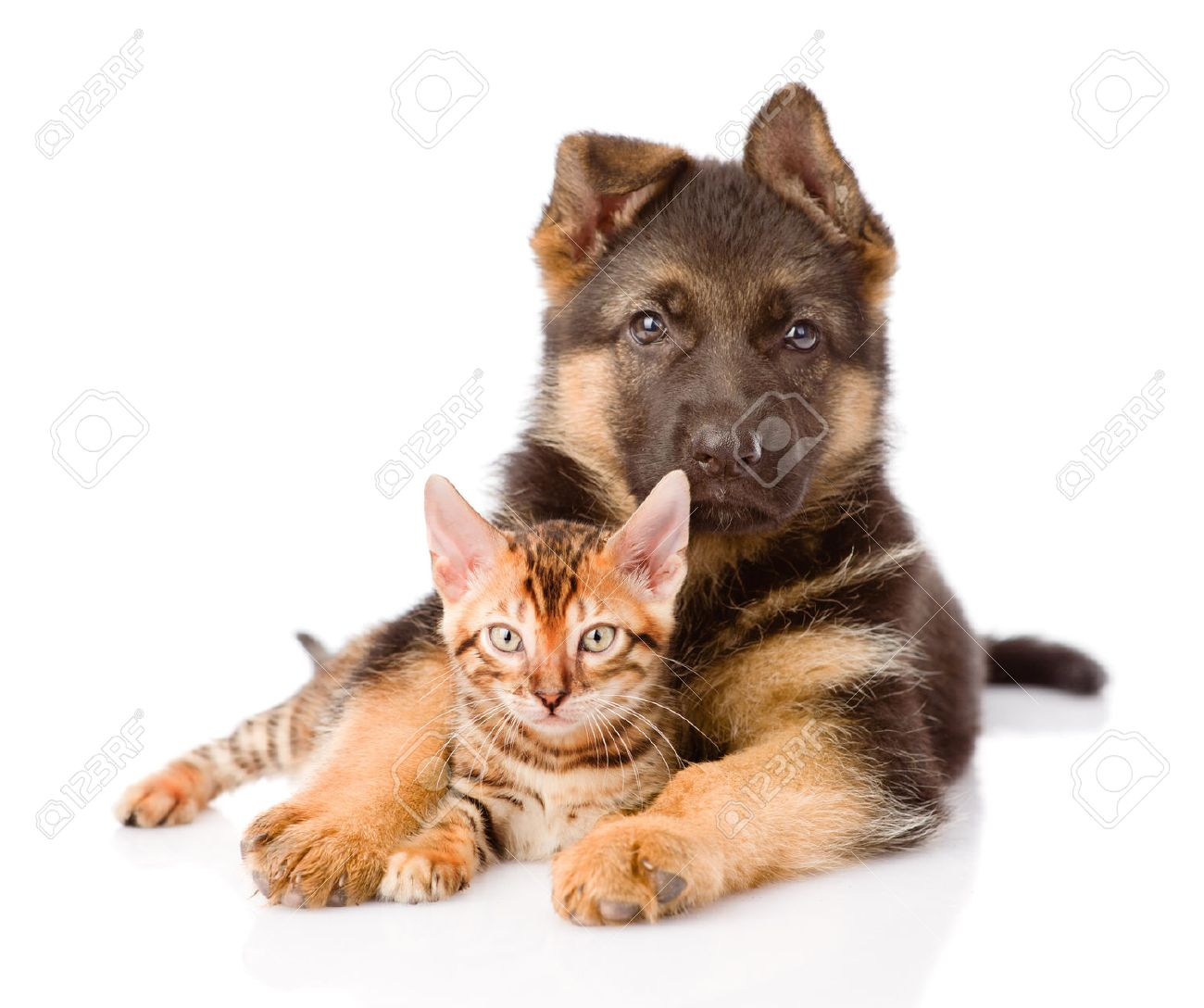 German Shepherd Puppy Dog Embracing Bengal Kitten Isolated On