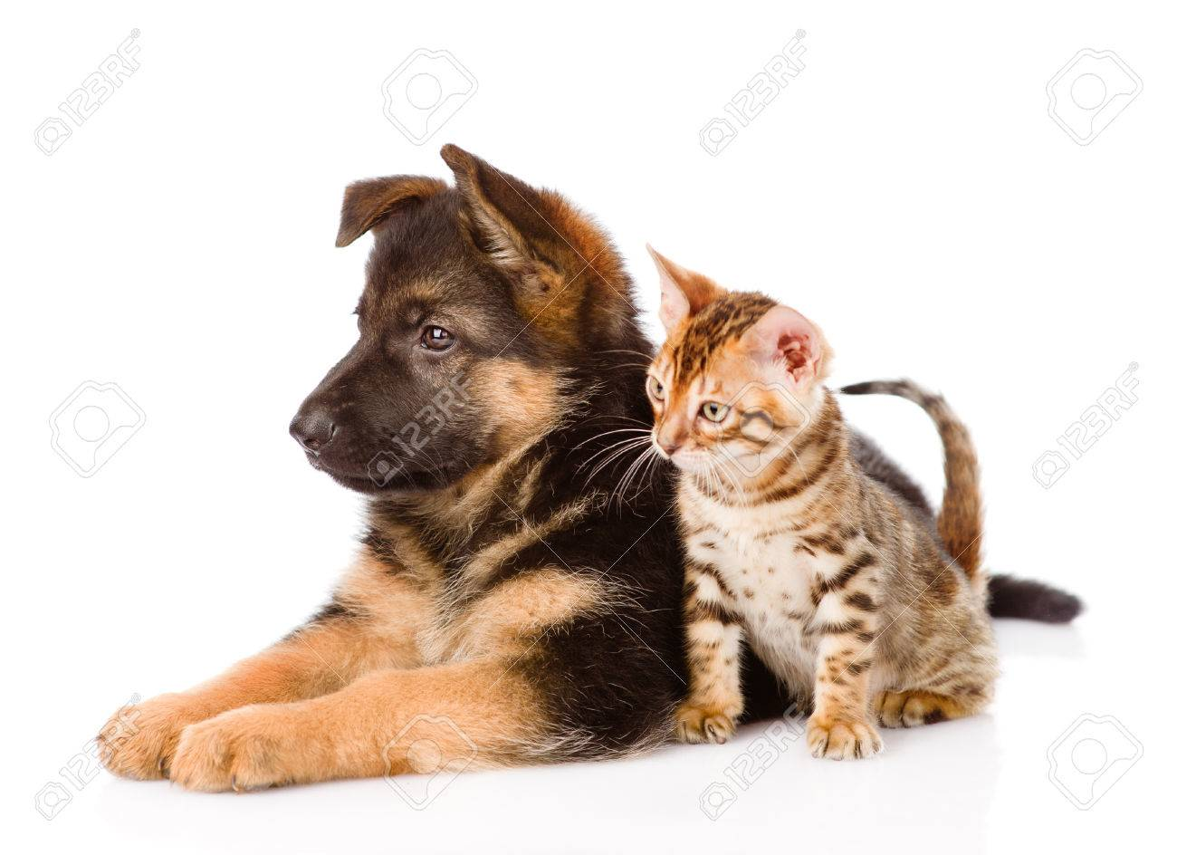 German Shepherd Puppy And Bengal Kitten In Profile Isolated Stock
