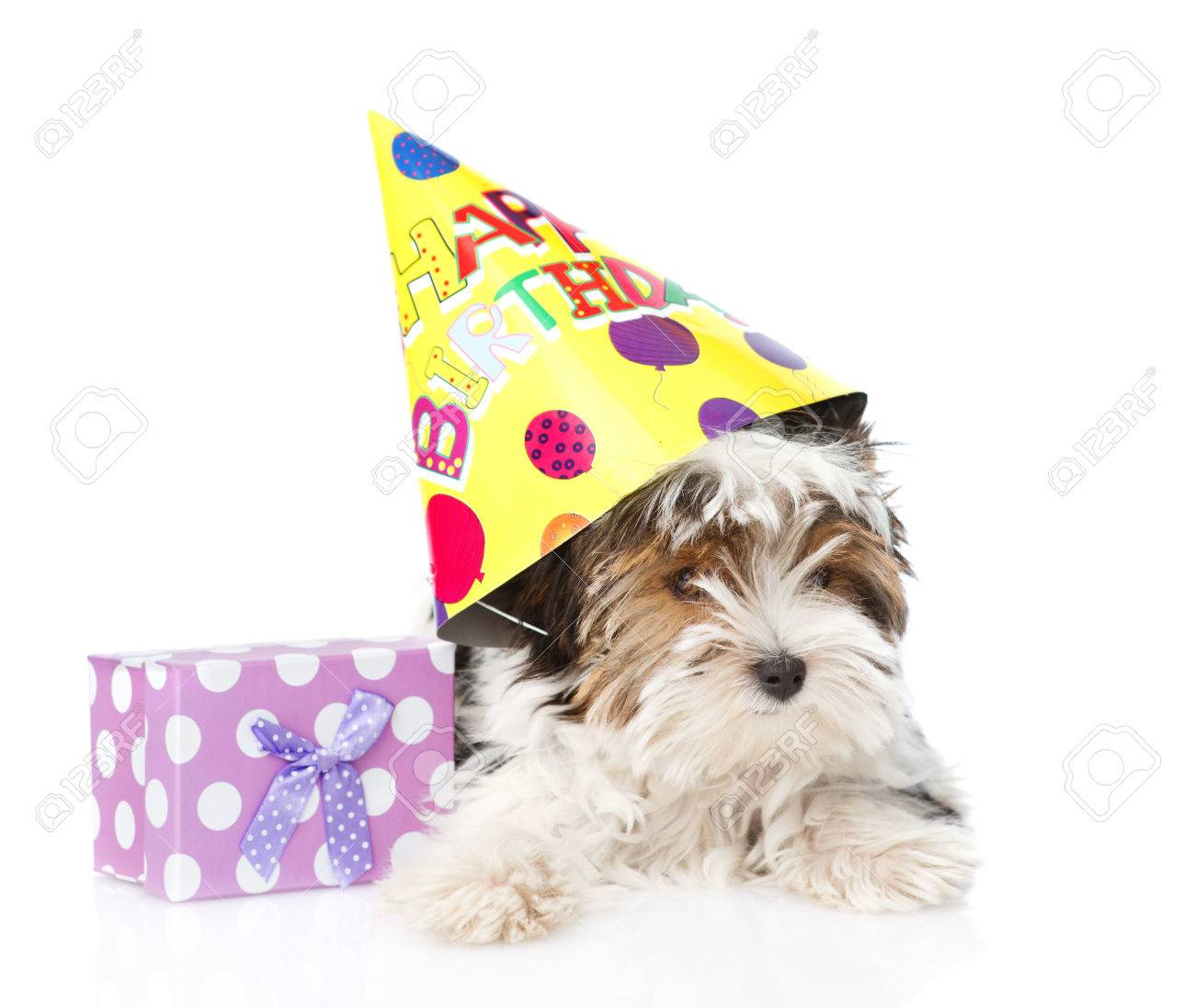 Biewer Yorkshire Terrier Welpe Mit Geburtstag Hat Und Geschenk Box