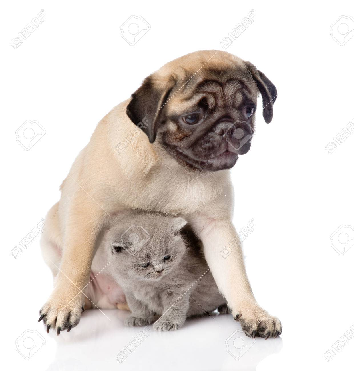 Pug Puppy With Scottish Cat Sitting Together Focus On Cat Isolated