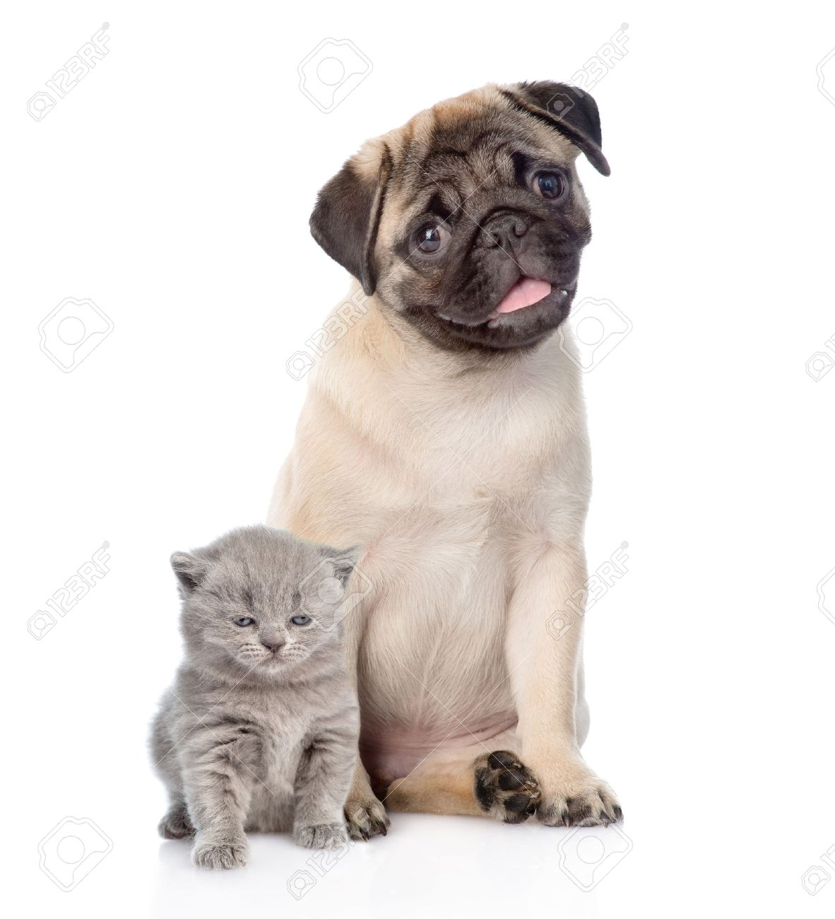 Funny Pug Puppy Sitting With Tiny Scottish Cat Together Isolated