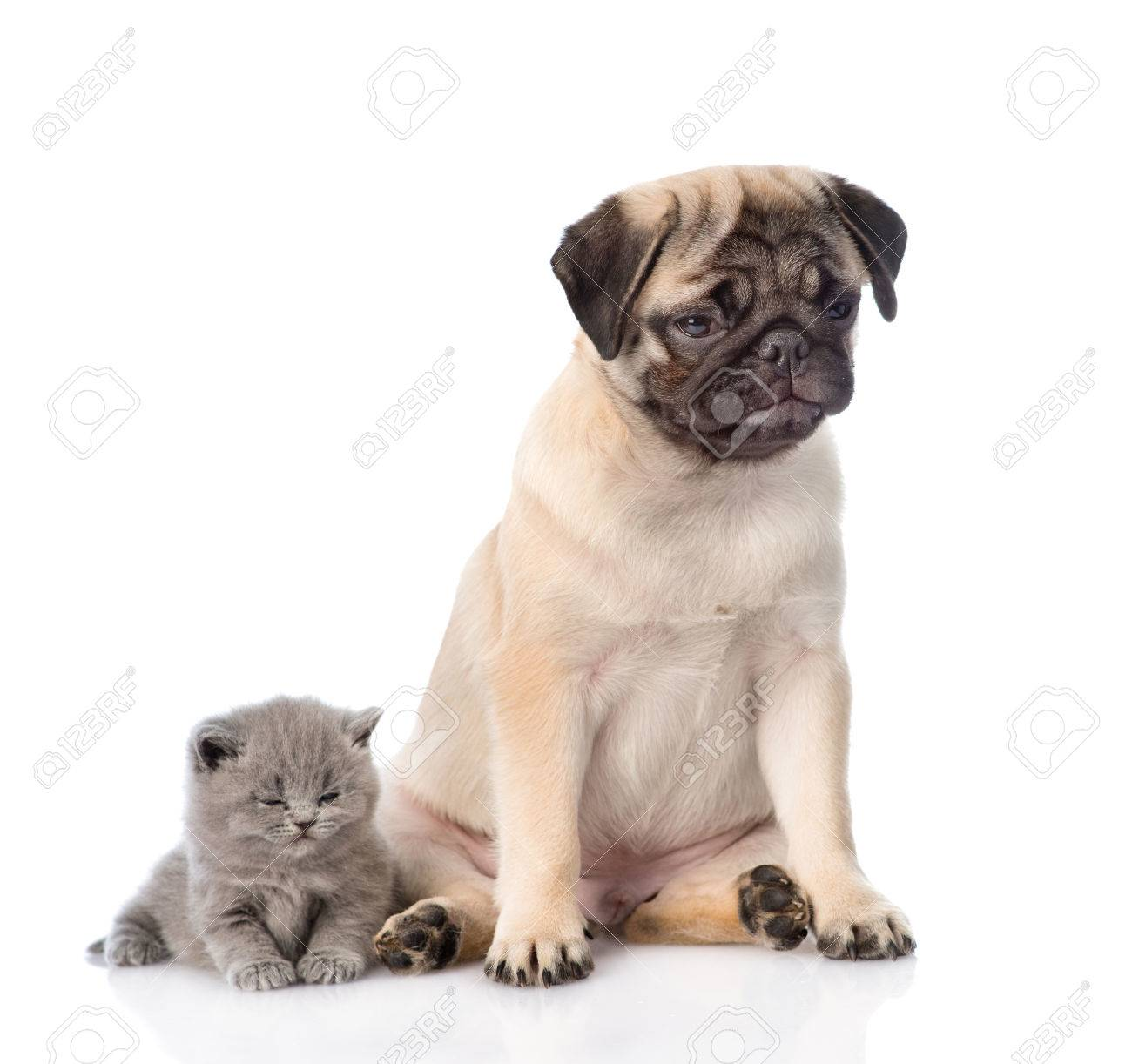 Sad Pug Puppy With Sleeping Scottish Kitten Isolated On White