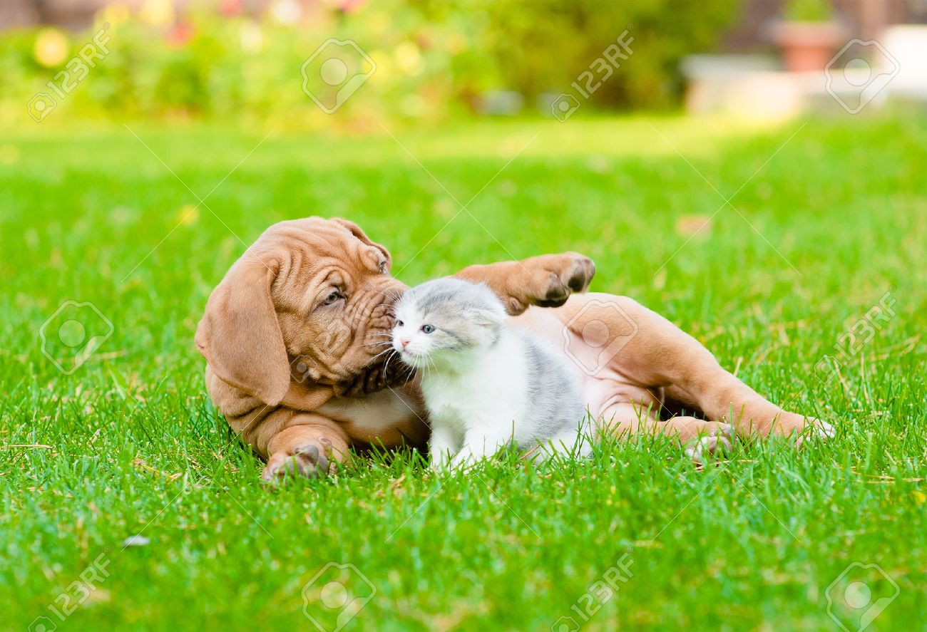 Bordeaux Puppy Dog Playing With Kitten On Green Grass Stock Photo