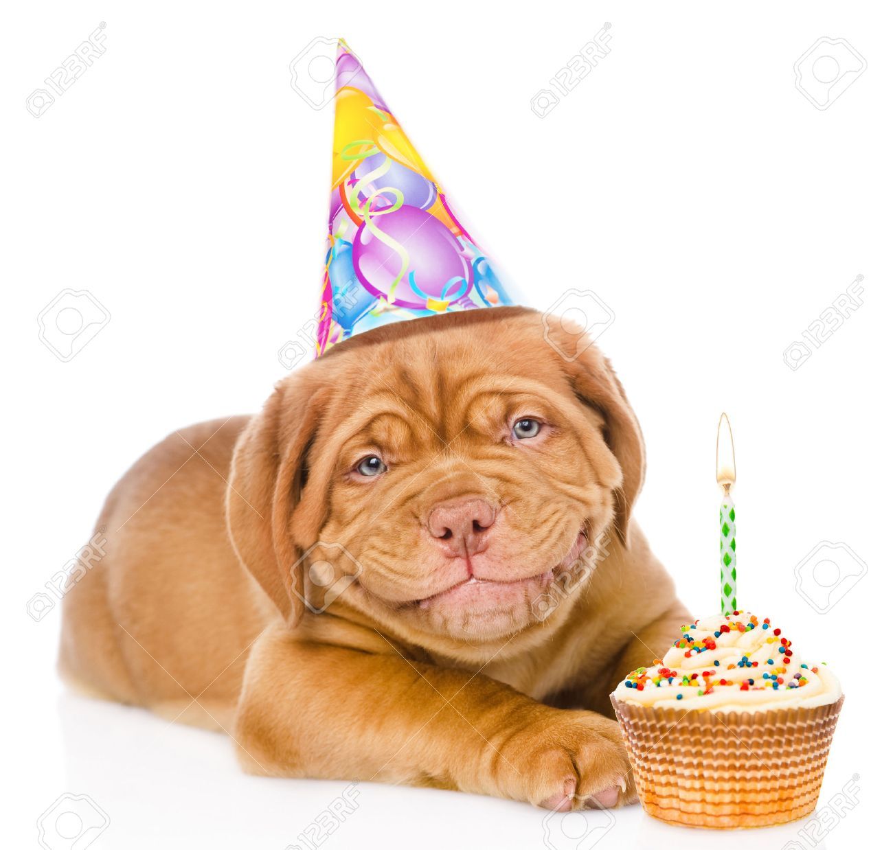 Happy Smiling Bordeaux Puppy Dog With Birthday Hat And Cake Isolated On White Background Stock
