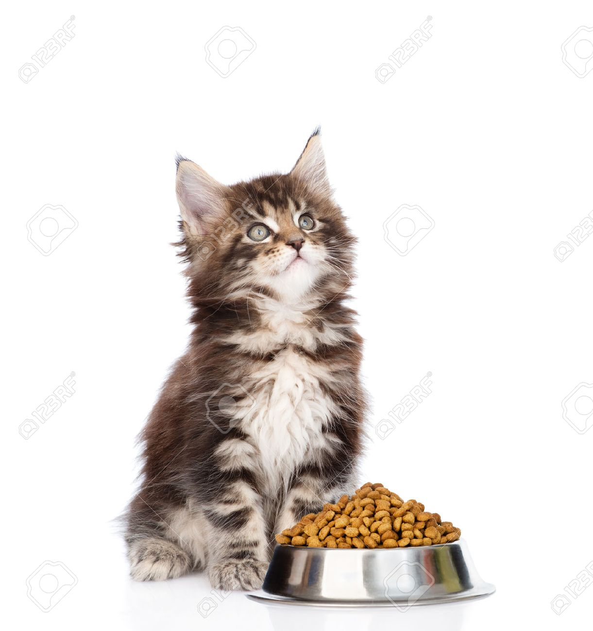 Maine Coon Kitten Sitting With A Bowl Of Dry Cat Food And Looking
