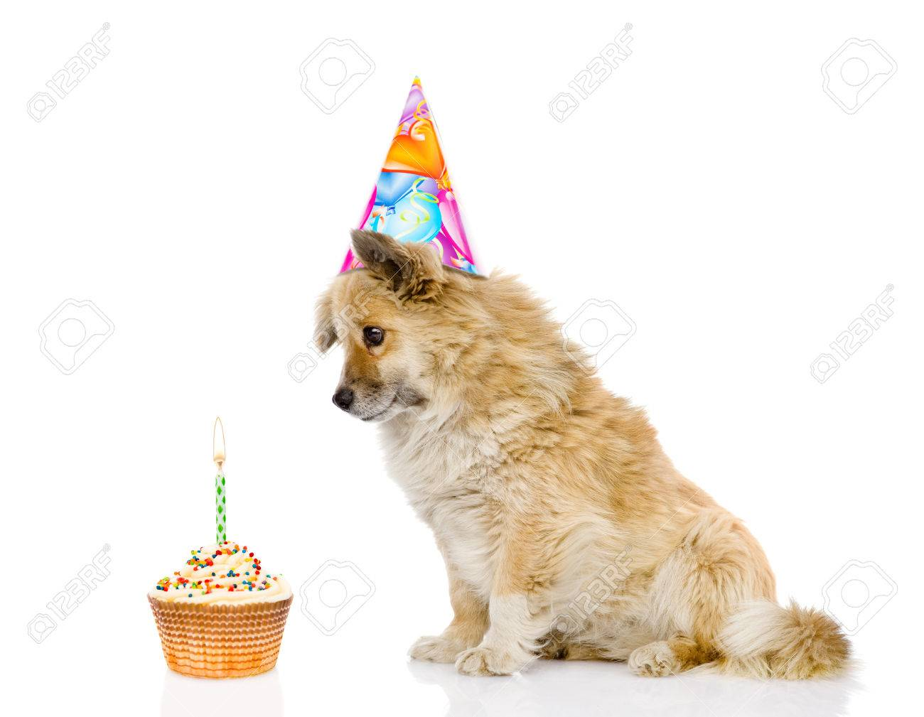 dog with birthday hat and cake isolated on white background stock